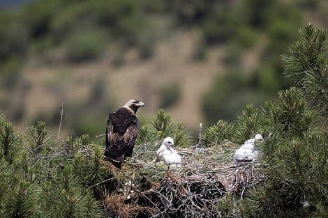 Aguila-Imperial-con-su-cría
