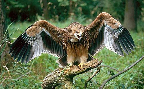 Aguila-imperial-Peninsula-Iberica