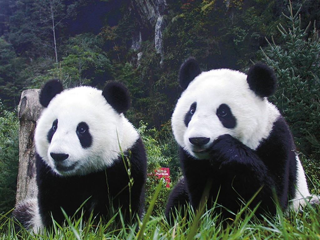 El_Oso_Panda