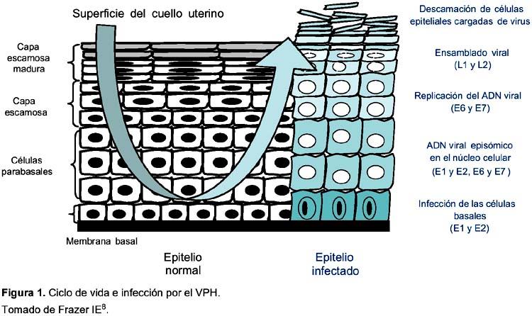 ciclo-vida-VPH