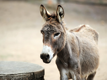 Musulmanes violan burro