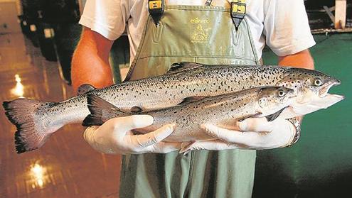 Salmon Clonado