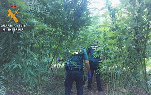 Guardia Civil encuentra una plantación de marihuana